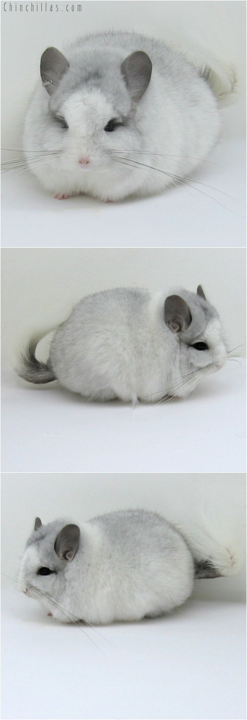 10126 Exceptional White Mosaic Royal Persian Angora Male Chinchilla