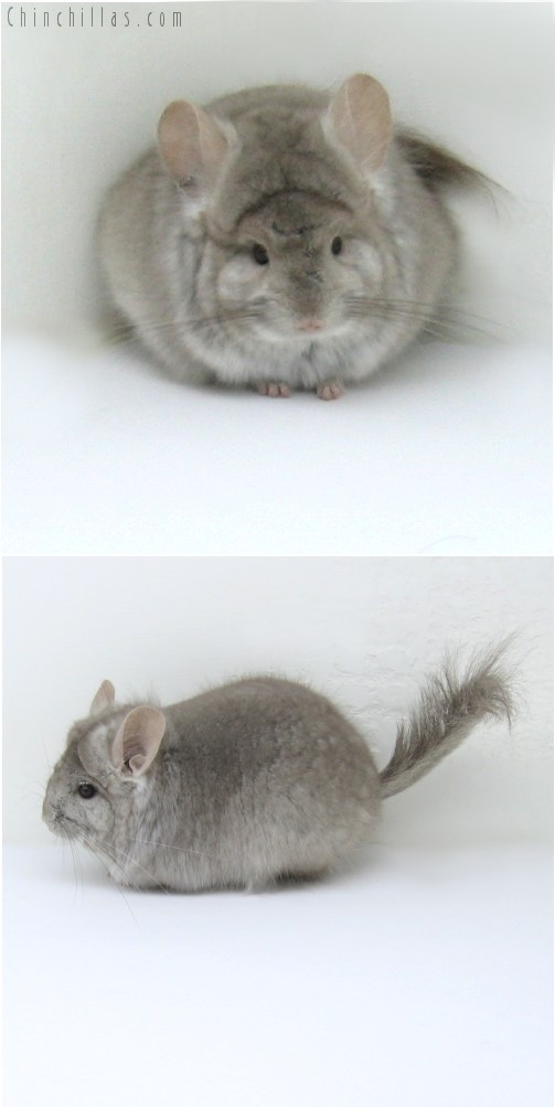 10123 Beige Royal Persian Angora Female Chinchilla
