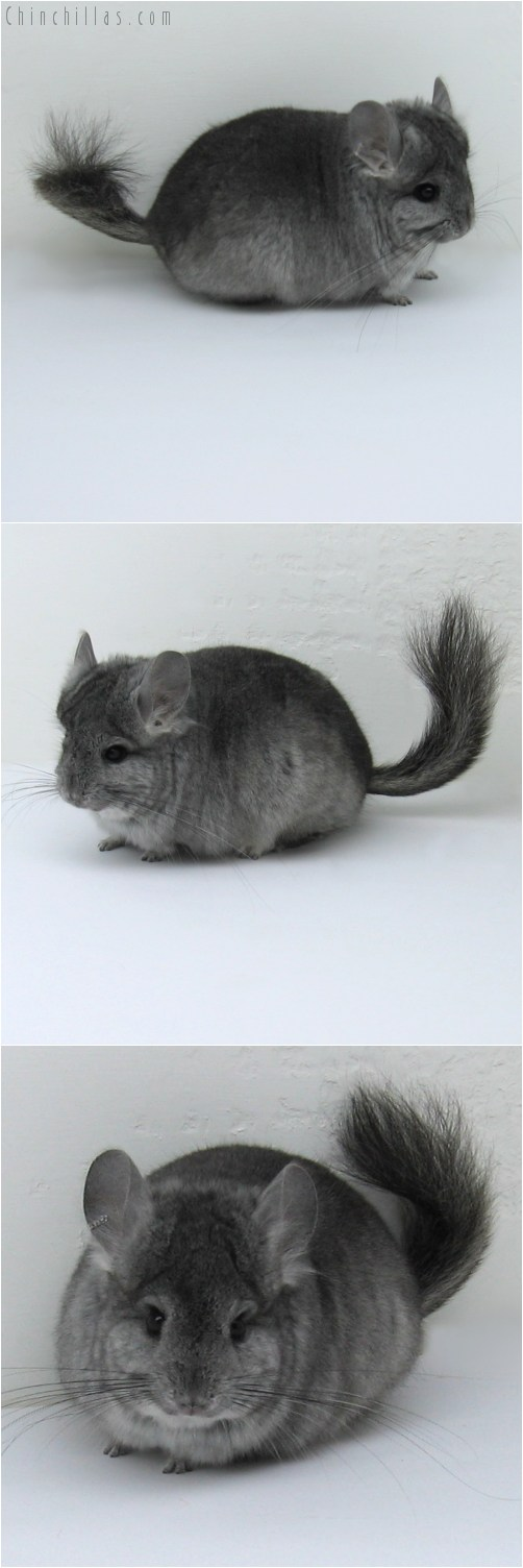 10127 Standard Royal Persian Angora Male Chinchilla
