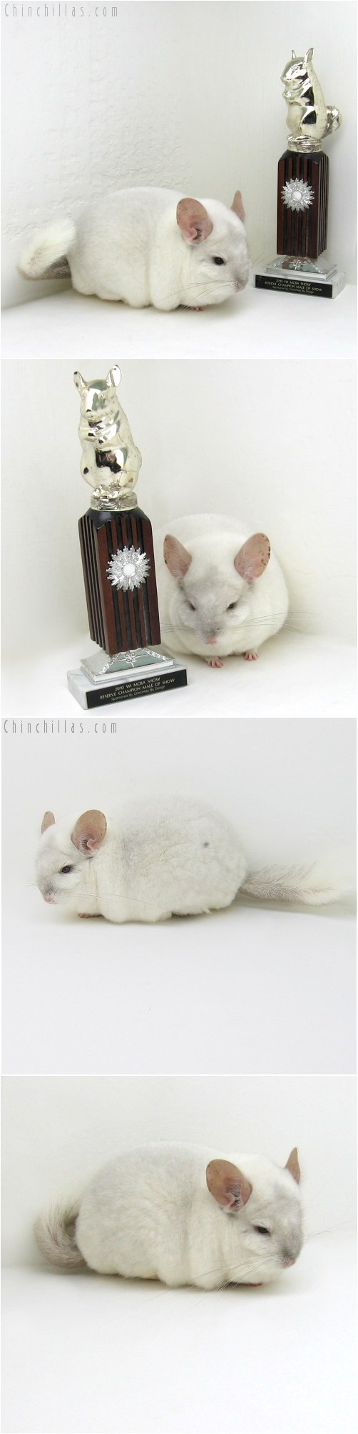 10076 Extra Extra Large Herd Improvement Quality Pink White Male Chinchilla