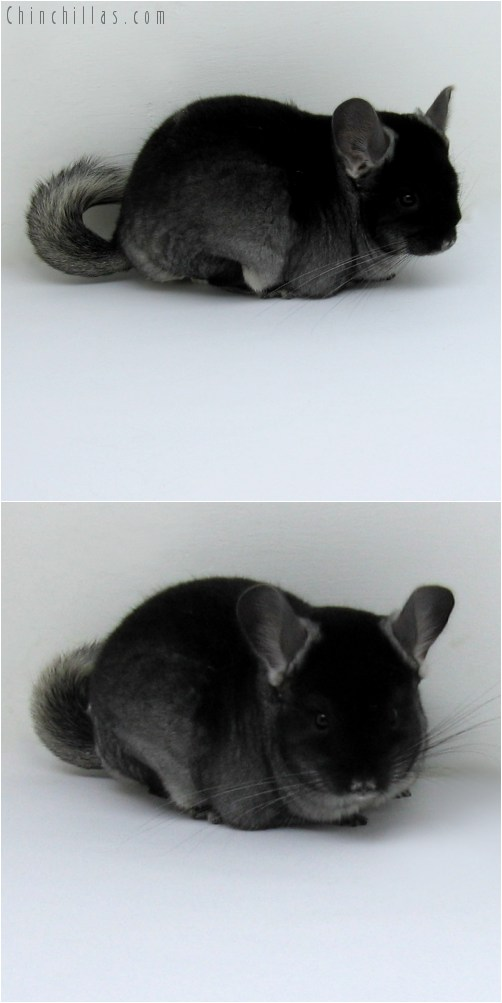 10125 Black Velvet ( Violet Carrier ) Female Chinchilla