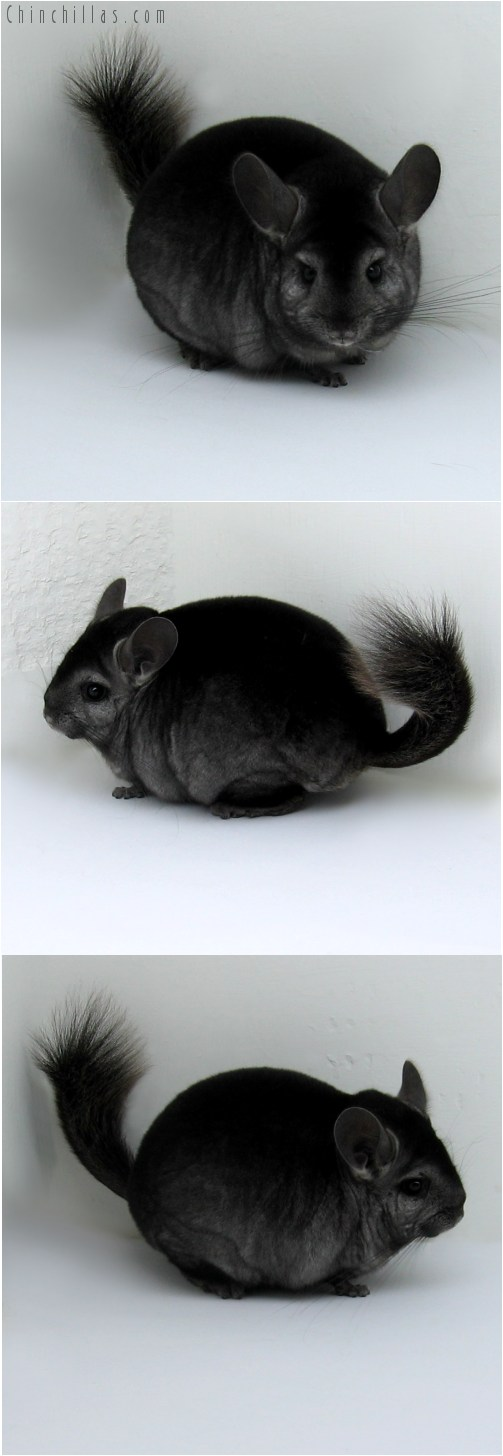 10128 Premium Production Quality Ebony ( Violet Carrier ) Female Chinchilla