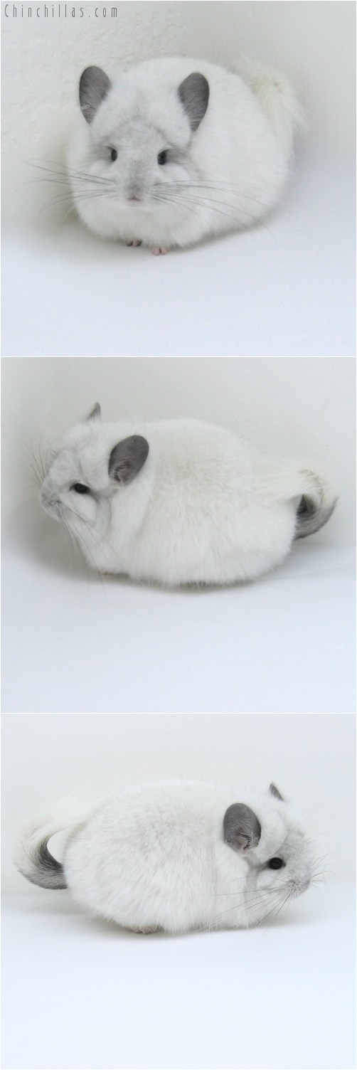 11007 Exceptional White Mosaic Royal Persian Angora Female Chinchilla