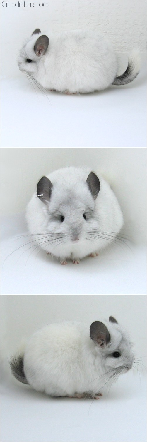 11006 White Mosaic Royal Persian Angora Female Chinchilla
