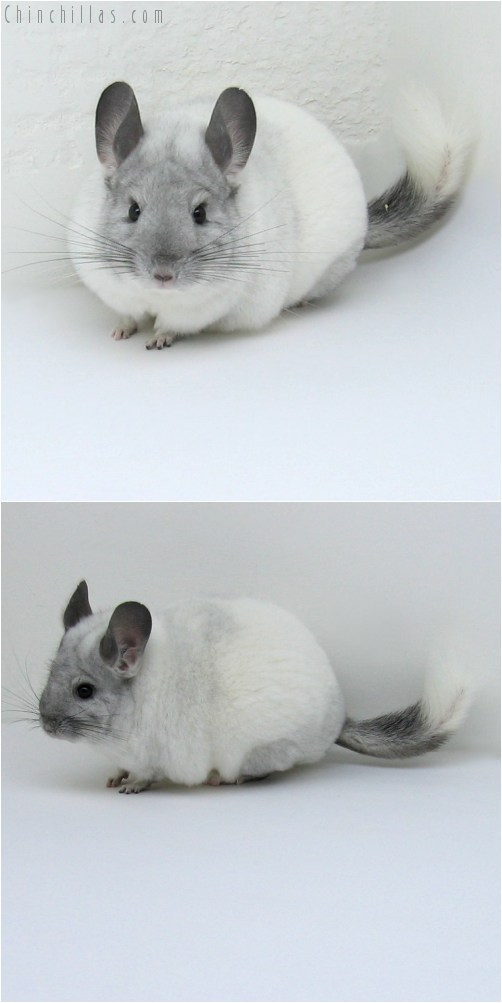 11012 Show Quality White Mosaic Female Chinchilla