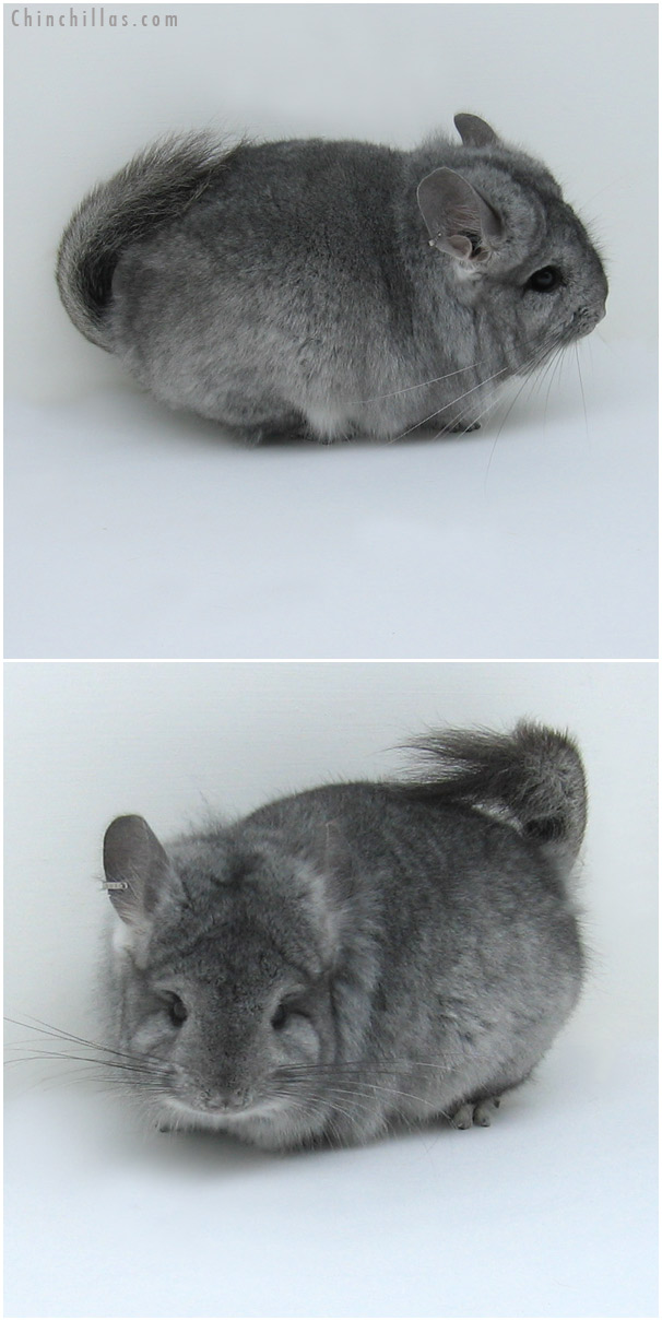 11016 Standard Royal Persian Angora Male Chinchilla