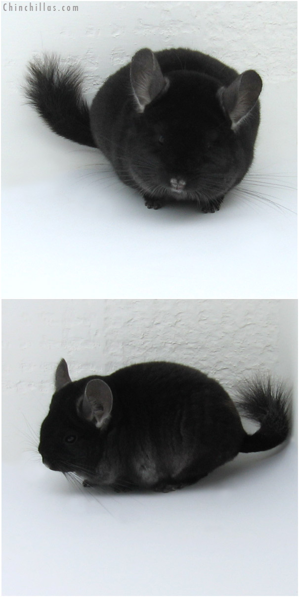 11020 TOV Ebony Male Chinchilla