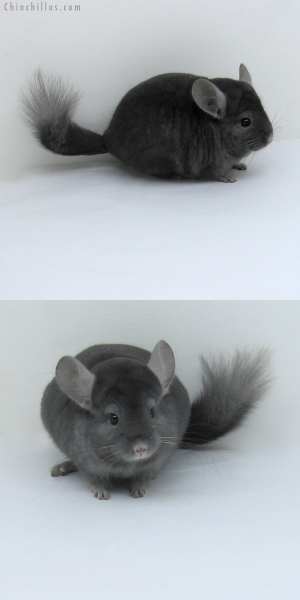 11043 Rare Wrap Around Sapphire Male Chinchilla