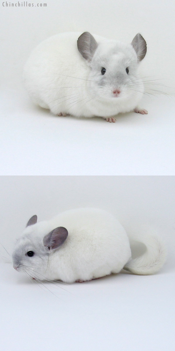 11045 Large Premium Production Quality Violet & White Mosaic Female Chinchilla