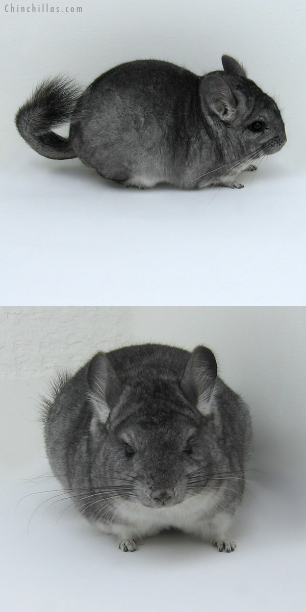 11044 Standard Dwarf / Mini Female Chinchilla