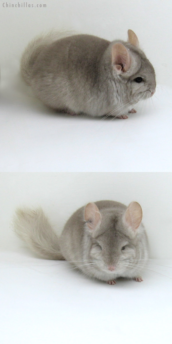11056 Beige Royal Persian Angora Male Chinchilla