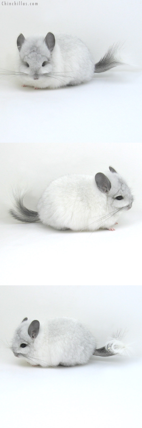11064 White Mosaic Royal Persian Angora Female Chinchilla