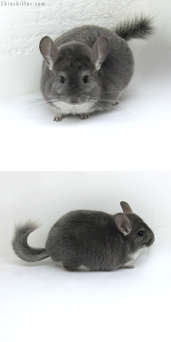 11094 Large Violet Male Chinchilla