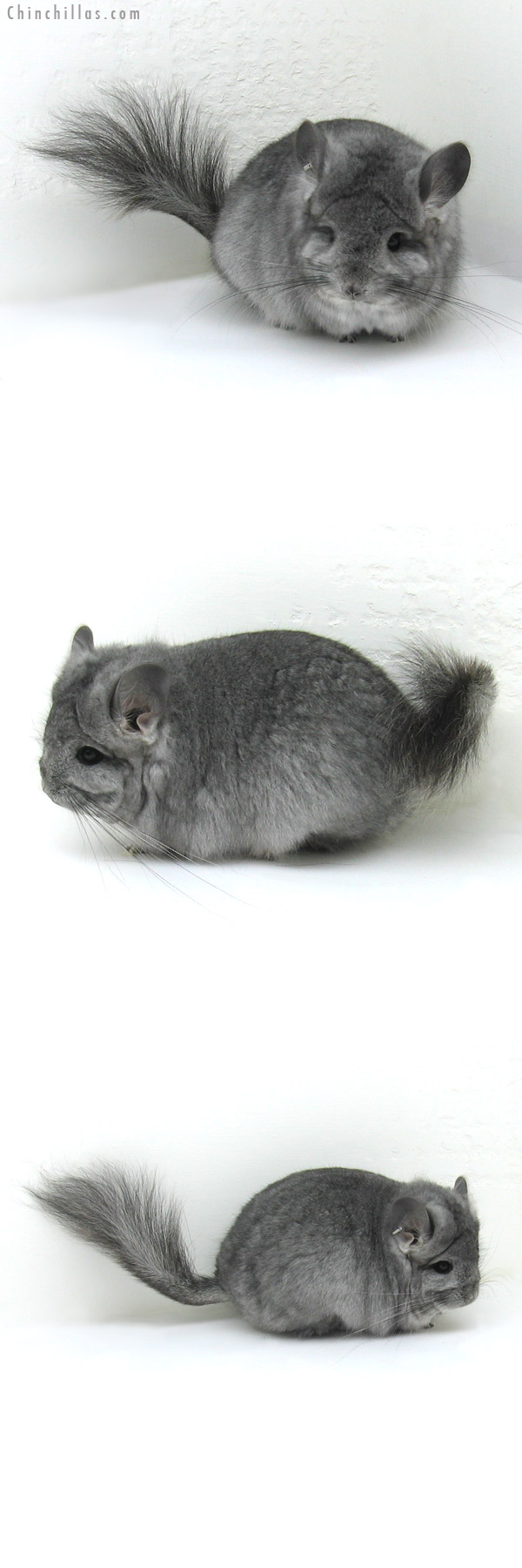 11098 Standard Royal Persian Angora Female Chinchilla