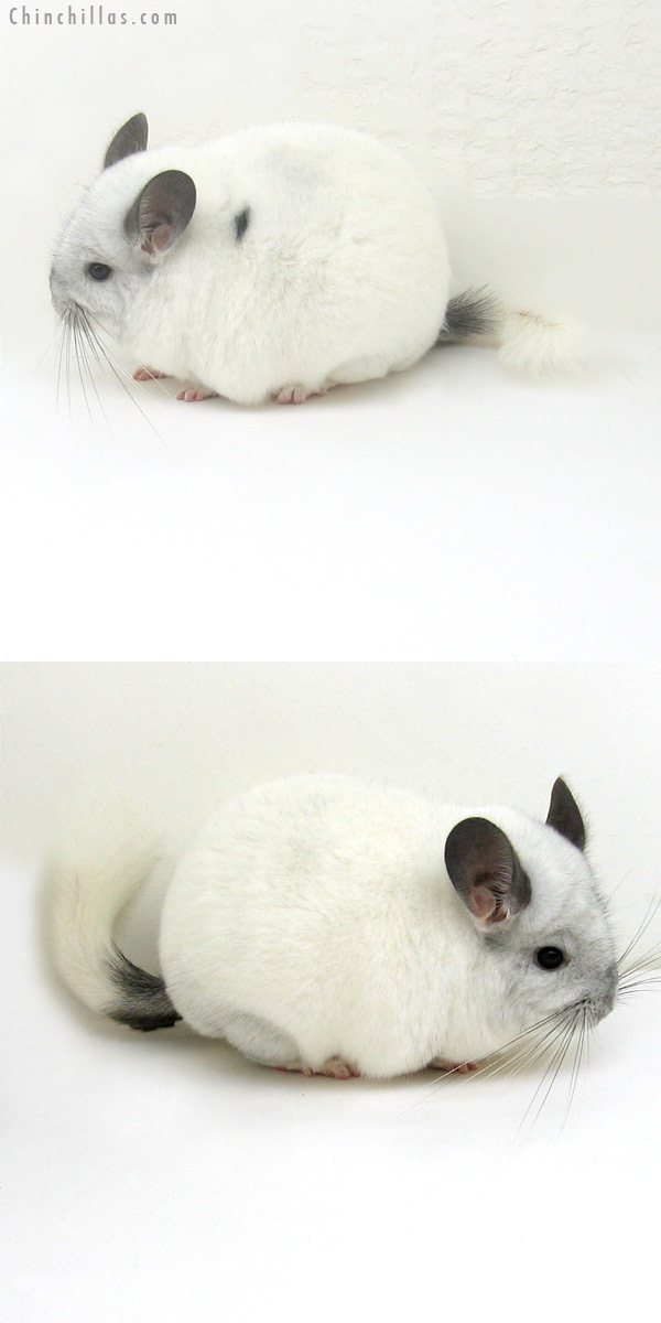 11100 Show Quality White Mosaic Female Chinchilla