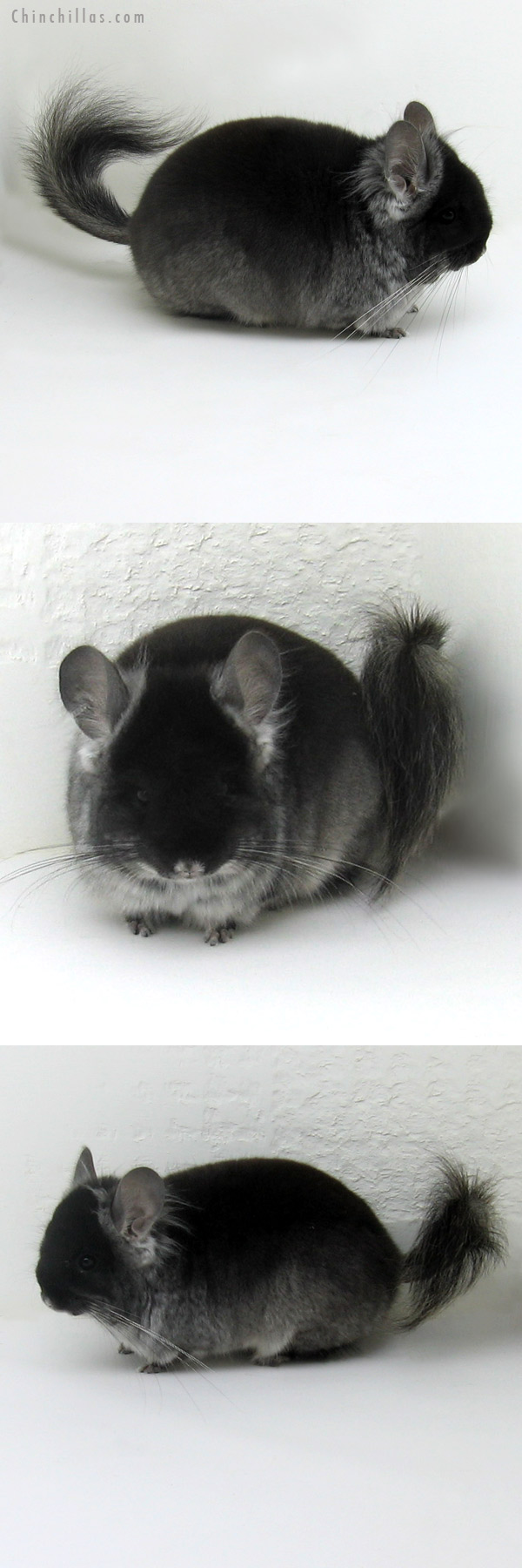 11114 Exceptional Black Velvet Royal Persian Angora Male Chinchilla