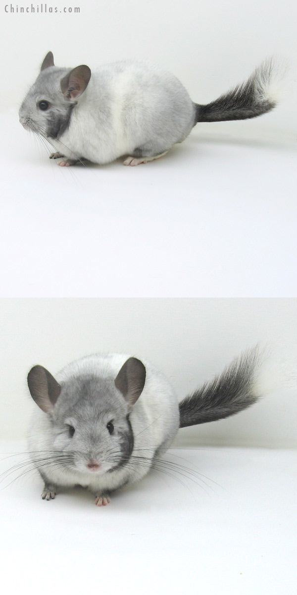 11117 Premium Production Quality Extreme White Mosaic Female Chinchilla