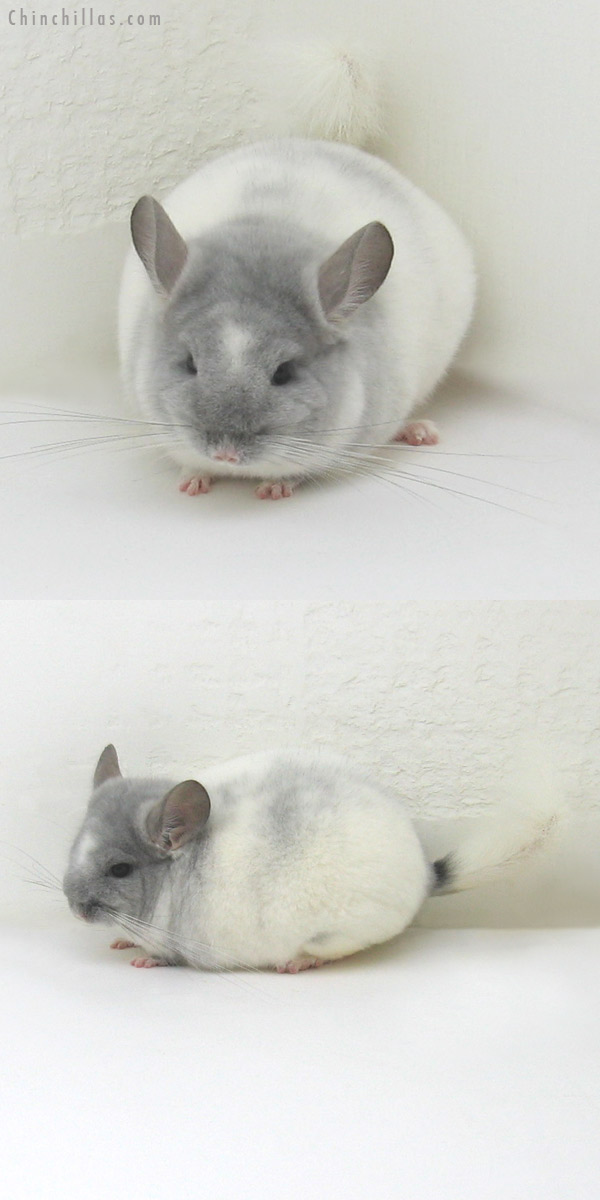 11118 Premium Production Quality Violet and White Mosaic Female Chinchilla