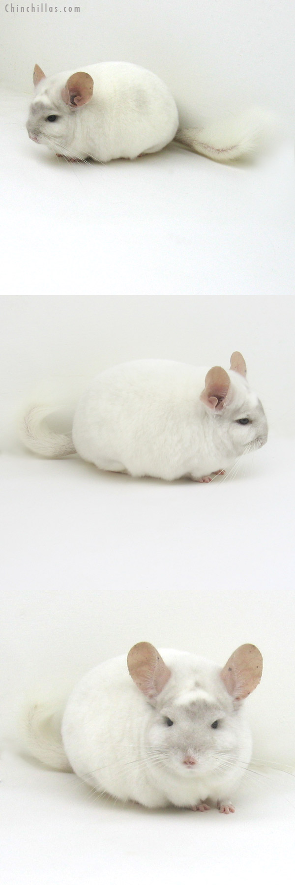 11115 Herd Improvement Quality Beige and White Mosaic Male Chinchilla