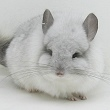 Chinchillas.com worldwide business to consumer auction of premium quality standard, mutation and hybrid chinchillas
