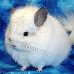 The Royal Persian Angora Chinchilla, 1960-2005 and Beyond