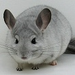7030 Ritterspach Bred Show Quality White Mosaic ( Sapphire Carrier ) Male Chinchilla