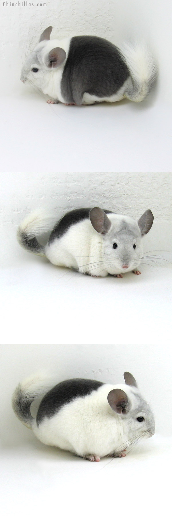 12061 Premium Production Quality Extreme Wrap Around Violet & White Mosaic Female Chinchilla