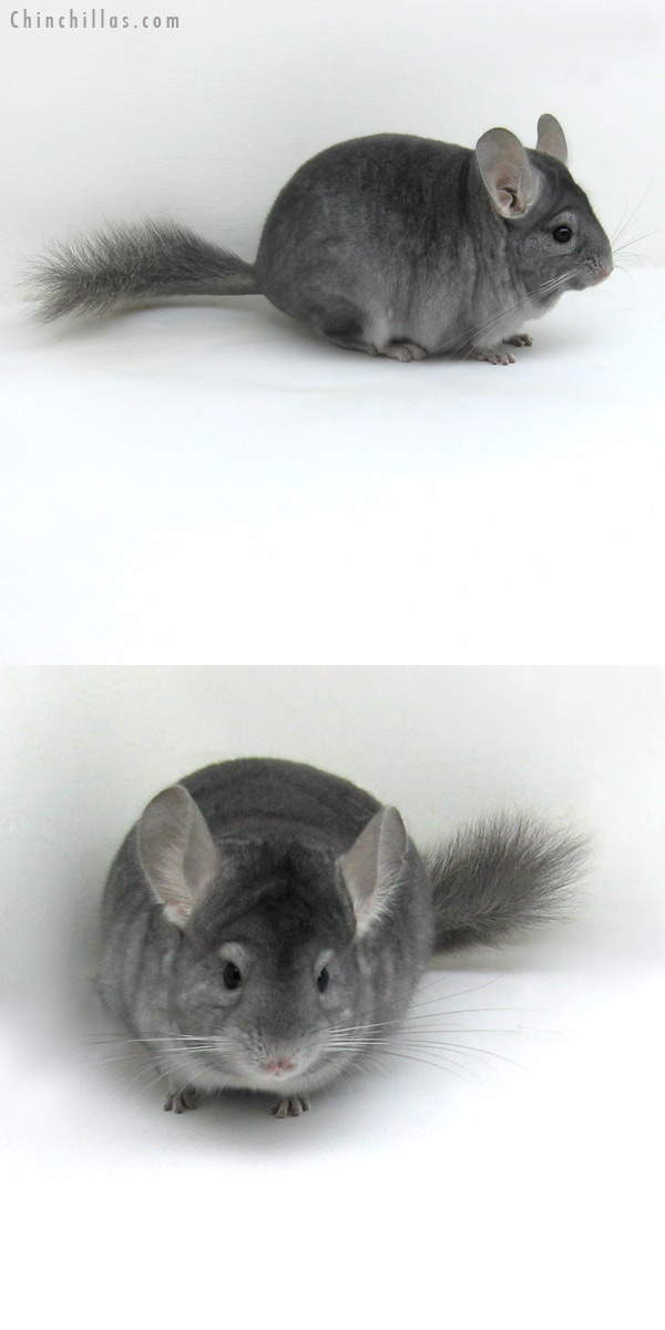 12077 Show Quality Sapphire ( Ebony Carrier ) Female Chinchilla