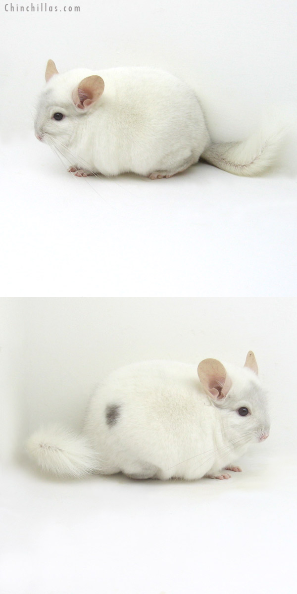 12110 Large Herd Improvement Quality Pink White ( Violet Carrier ) Male Chinchilla