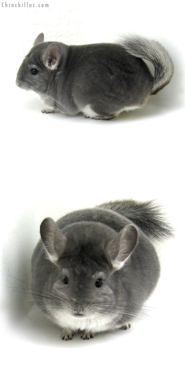 12122 Premium Production Quality Violet Female Chinchilla