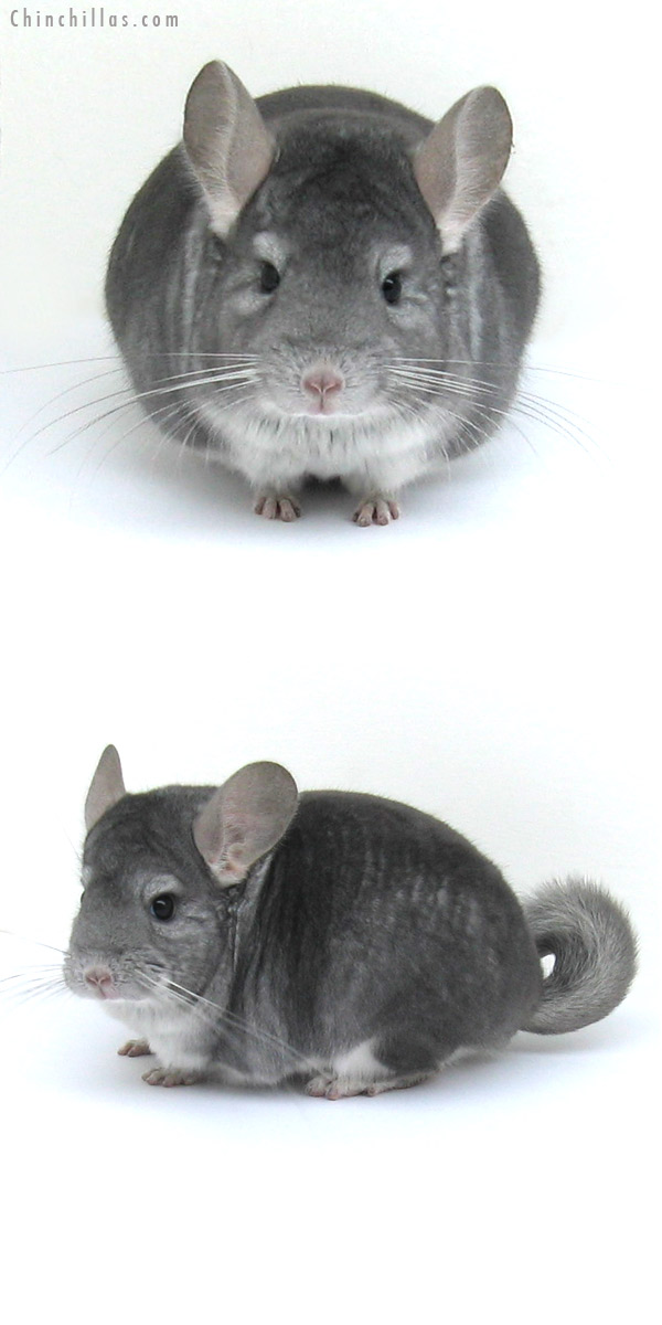 12181 Top Show Quality Sapphire Male Chinchilla