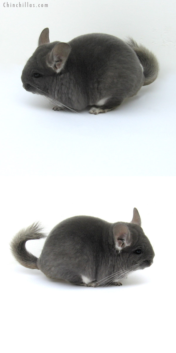 12201 Premium Production Quality TOV Violet ( Ebony Carrier ) Female Chinchilla