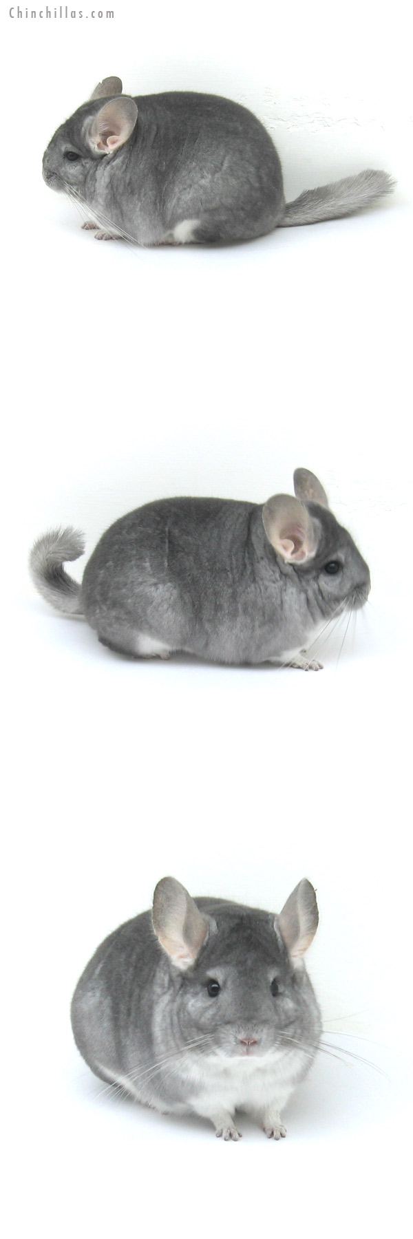 12238 Blocky, Premium Production Quality Sapphire Female Chinchilla