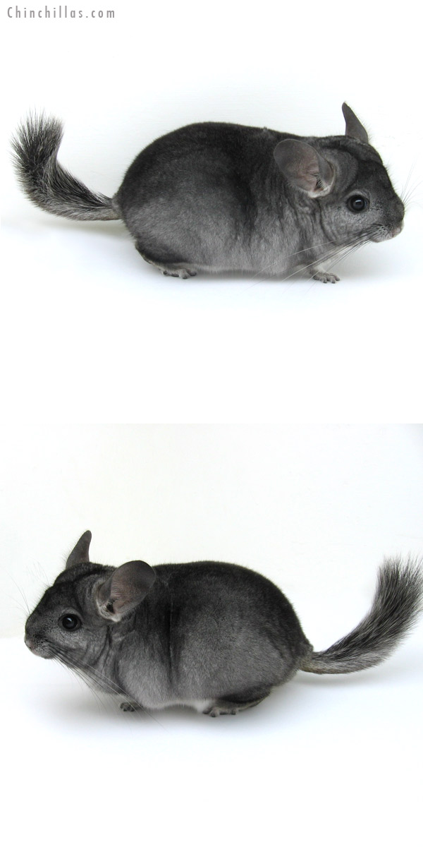 13007 Standard ( Goldbar Carrier ) Female Chinchilla