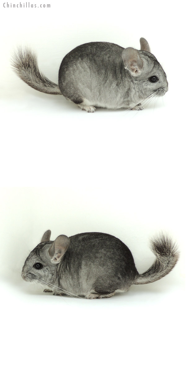 13016 Standard ( Royal Persian Angora Carrier ) Male Chinchilla