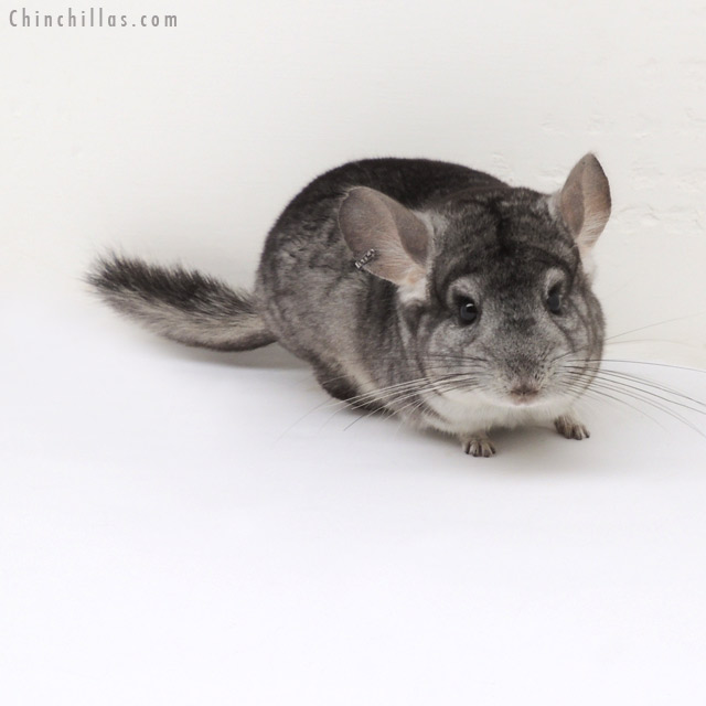 13042 Standard ( Violet & Royal Persian Angora Carrier ) Male Chinchilla