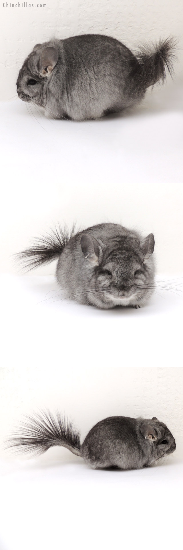 13045 Standard Royal Persian Angora Female Chinchilla