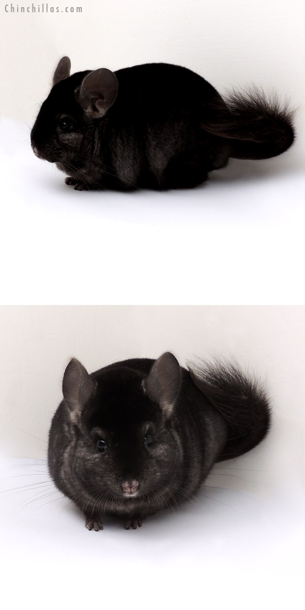 13062 Top Show Quality Ebony ( Sapphire Carrier ) Male Chinchilla
