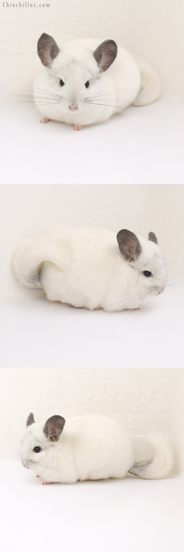 13086 Herd Improvement Quality Predominantly White Male Chinchilla