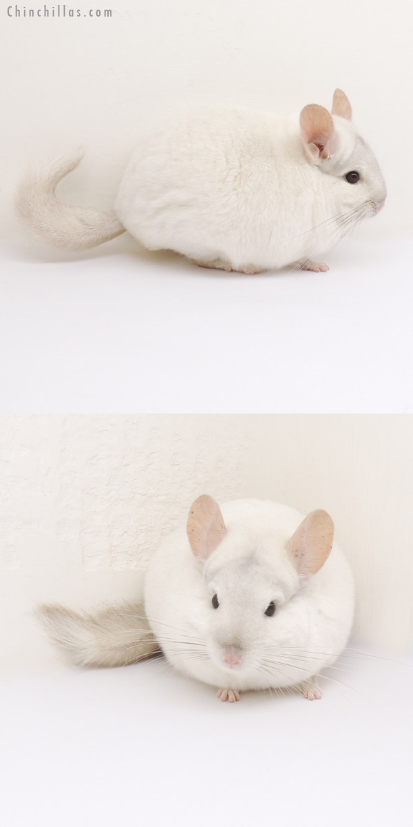 13113 Herd Improvement Quality Pink White Male Chinchilla