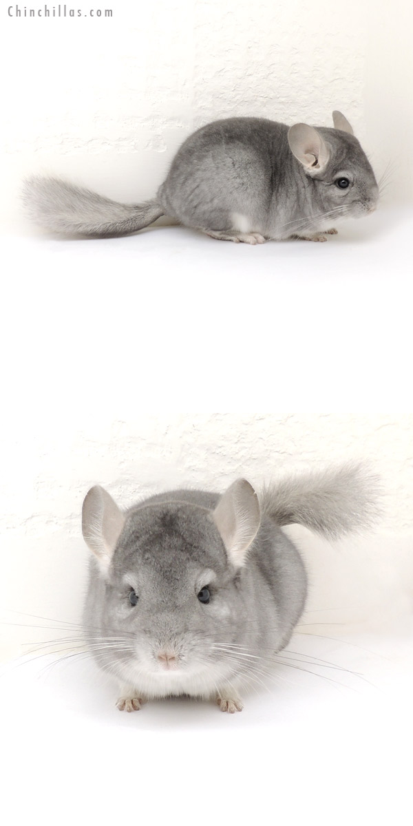 13203 Mini Sapphire Female Chinchilla