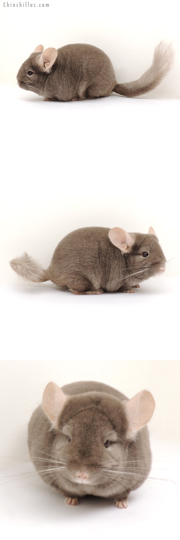 13223 Show Quality Tan ( Violet Carrier ) Female Chinchilla