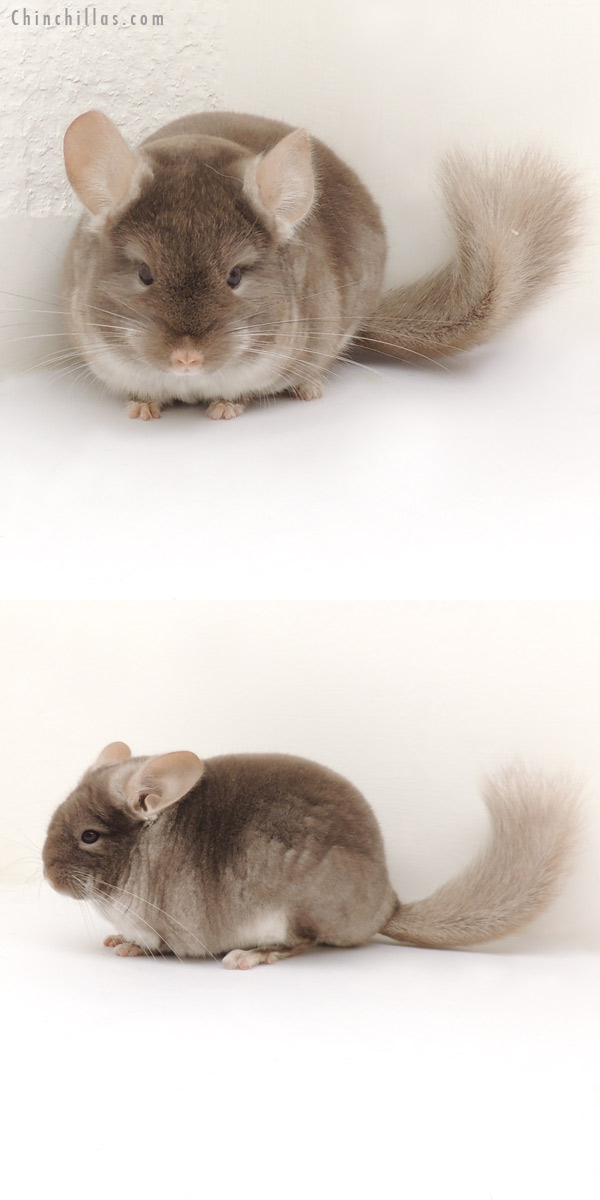 13243 Show Quality TOV Beige Female Chinchilla