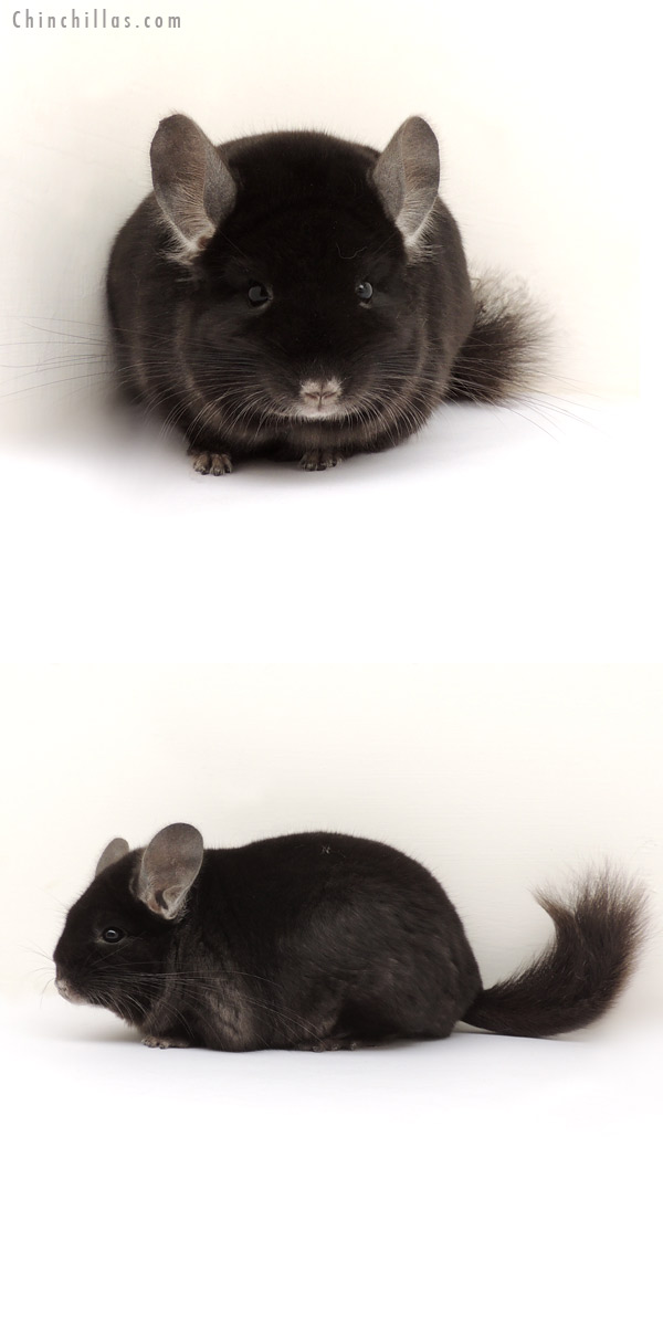 13281 Show Quality TOV Ebony Male Chinchilla