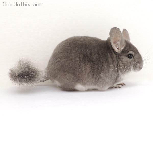13397 Show Quality Violet ( Sapphire Carrier ) Male Chinchilla