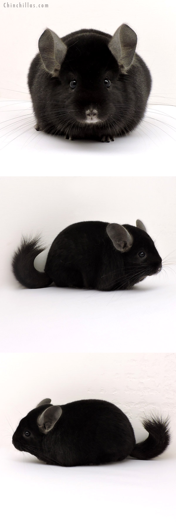 14136 Show Quality Ebony Male Chinchilla