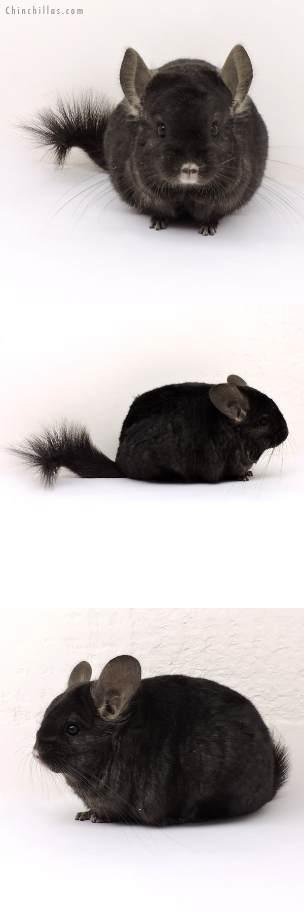 14152 Ebony ( Locken Carrier ) Female Chinchilla