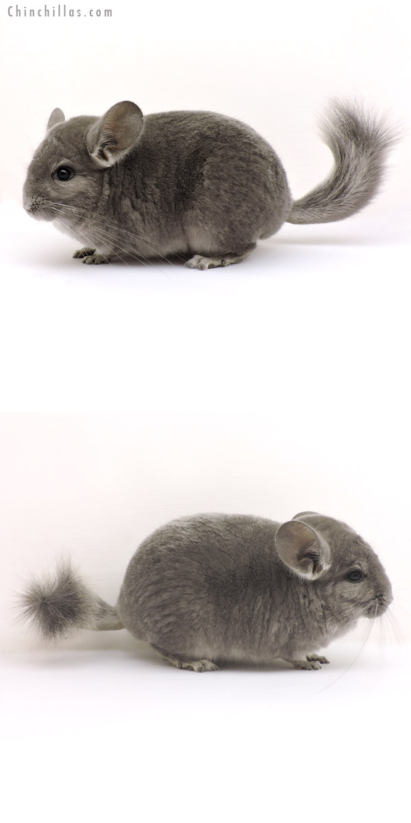 14147 Wrap Around Violet Male Chinchilla