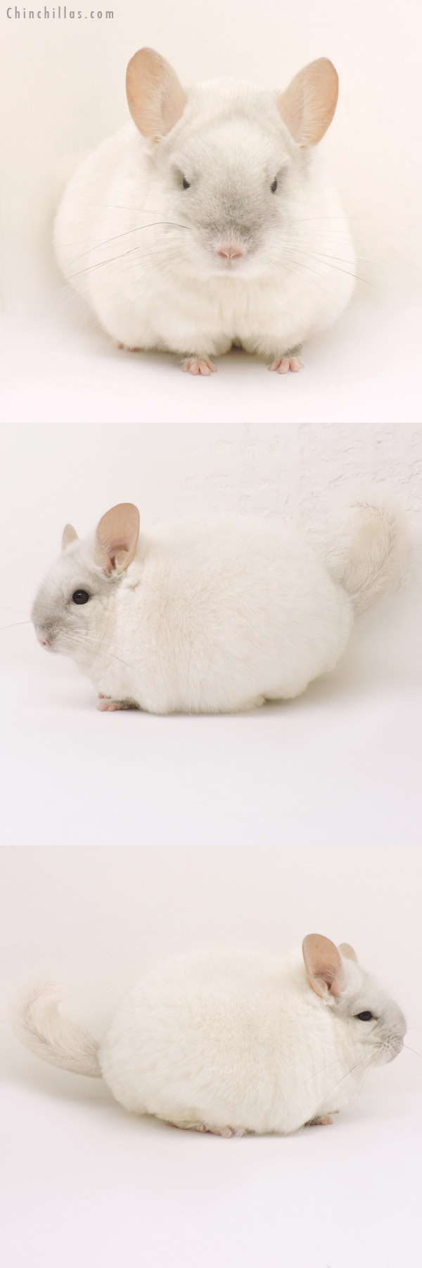 14180 Large Blocky Section Champion Pink White Male Chinchilla