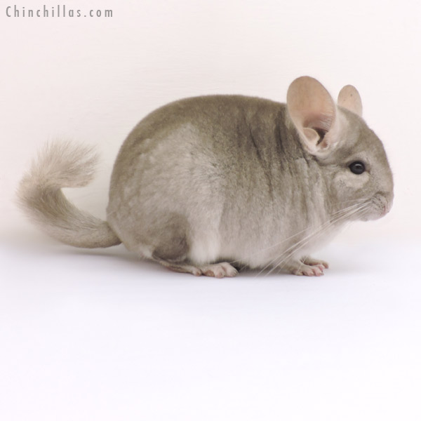 14183 Show Quality Beige ( Violet Carrier ) Male Chinchilla